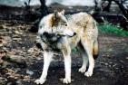 California Wolf Center - charity reviews, charity ratings, best charities, best nonprofits, search nonprofits