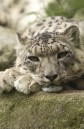 Latest Photo by INTERNATIONAL SNOW LEOPARD TRUST