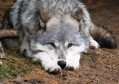 Latest Photo by INTERNATIONAL WOLF CENTER