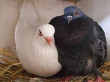 Latest Photo by MickaCoo Pigeon &amp; Dove Rescue (a project of Community Initiatives)