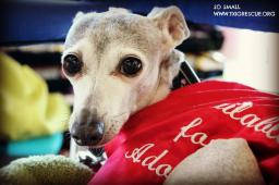 Latest Photo by TEXAS ITALIAN GREYHOUND RESCUE INC