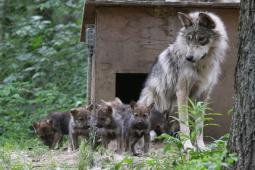 Latest Photo by Endangered Wolf Center