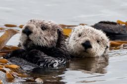 Latest Photo by Friends of the Sea Otter
