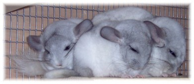 Latest Photo by Forever Feisty Chinchilla Rescue Inc