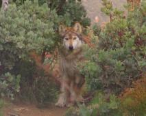 Latest Photo by California Wolf Center