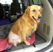Latest Photo by HEARTLAND GOLDEN RETRIEVER RESCUE