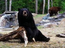 Latest Photo by NORTH AMERICAN BEAR CENTER