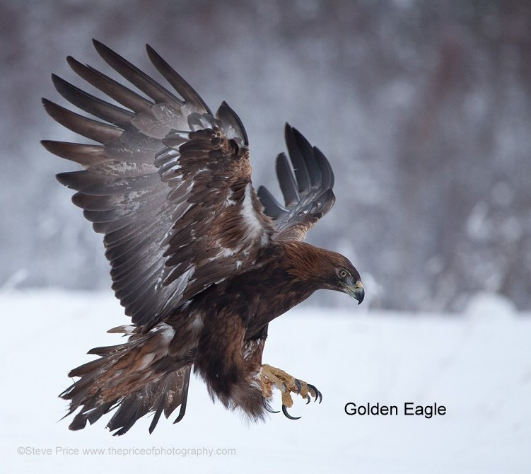 Photo by Steve Price. Golden Eagle.