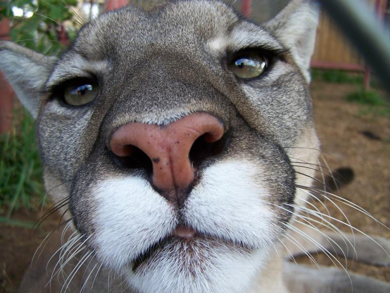 Cassie, a mountain lion, says hi