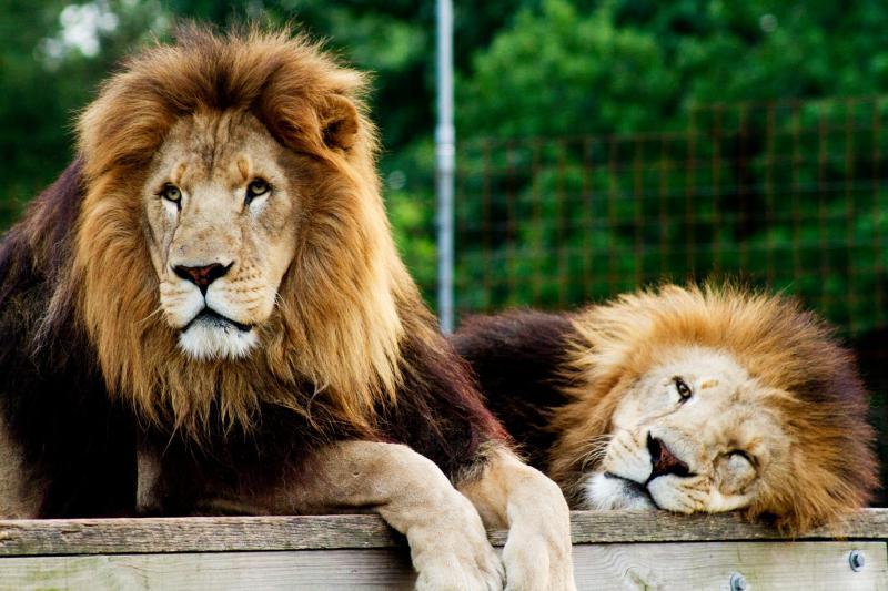 Ra and Thomas Lions