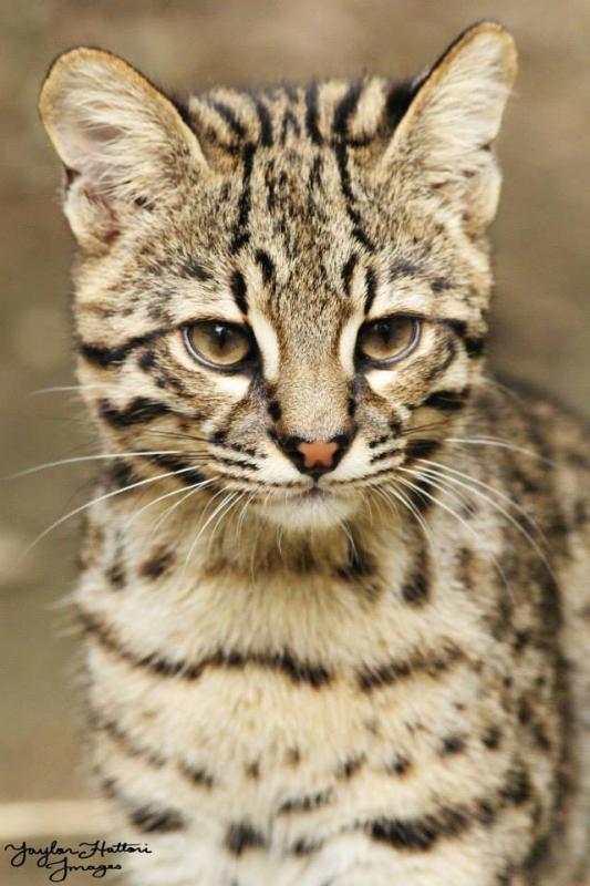 Renato Geoffroy's Cat