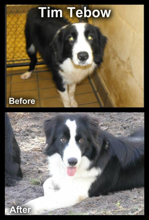 Tim Tebow, before and after.  Tim is not a certified Canine Good Citizen!