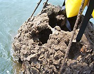 CBF runs a many-faceted oyster restoration effort that includes oyster farming and reef building.