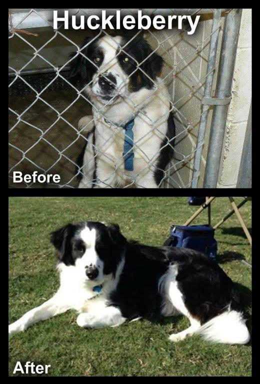 Huckleberry, Before and After.  He was literally being euthanized when we arrived to pull him.