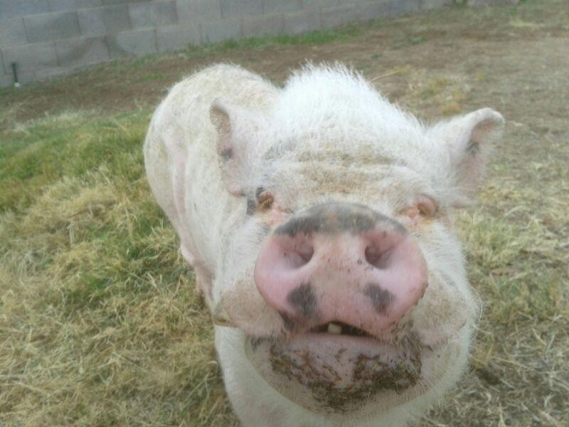 Reggie, a starved 50 lb pig, found  having daily seizures, is now at VPP and is up to 94 lbs!