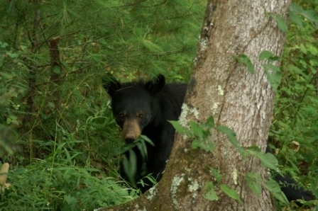 Support for wildlife conservation initiatives benefit the native black bear among other species.