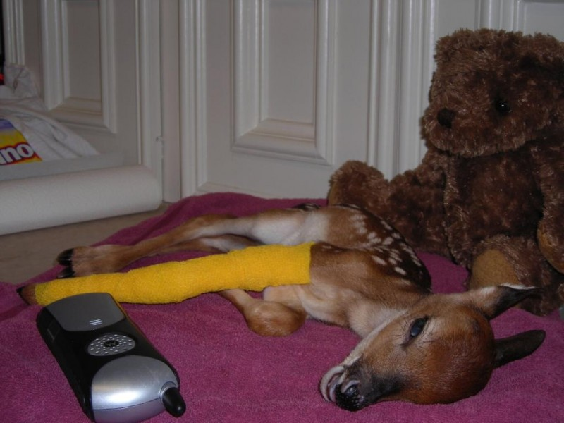 Fawn had been hit by a car and suffered a broken leg.
