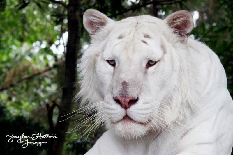 Arthur Tiger