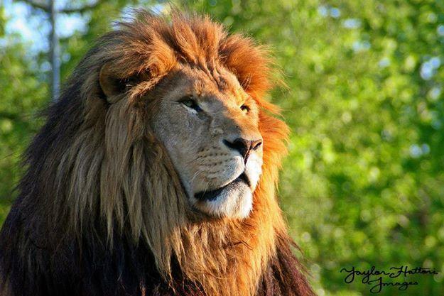 Ra Lion