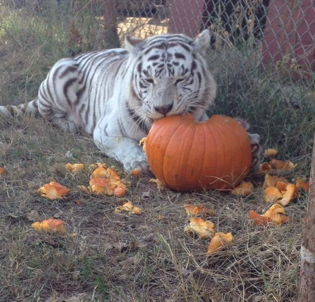 Acari, a white tiger, playing with her pumpkin