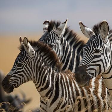zebras © Kenneth Coe