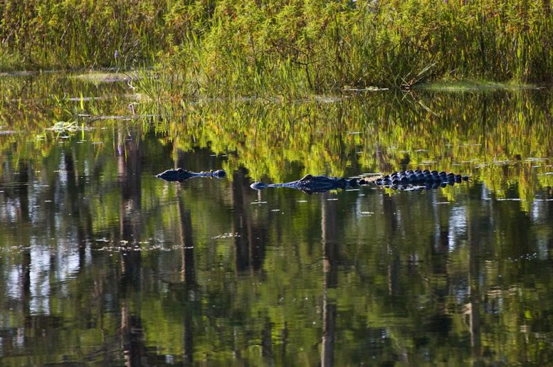 Alligators in the Marsh