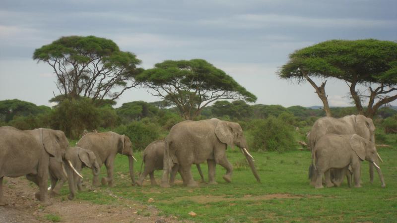 Amboseli elephants in Kenya