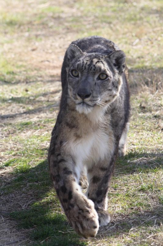 Arctic the snow leopard