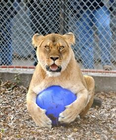 Our lioness loves her enrichment ball!