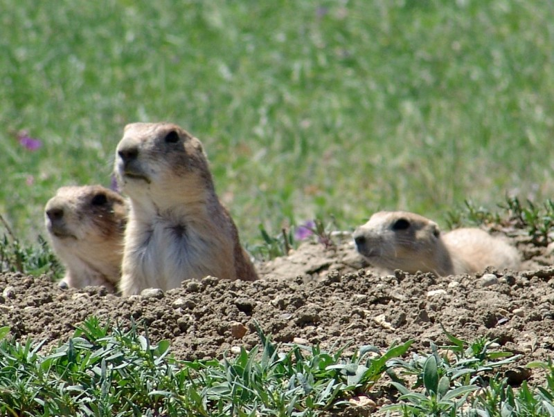 Black-tailed prairie dogs, a keystone species of the prairie