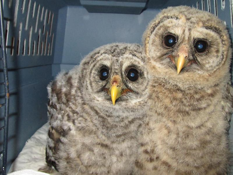 Barred Owl babies at intake