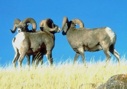 Bighorn sheep photo by the National Park Service.