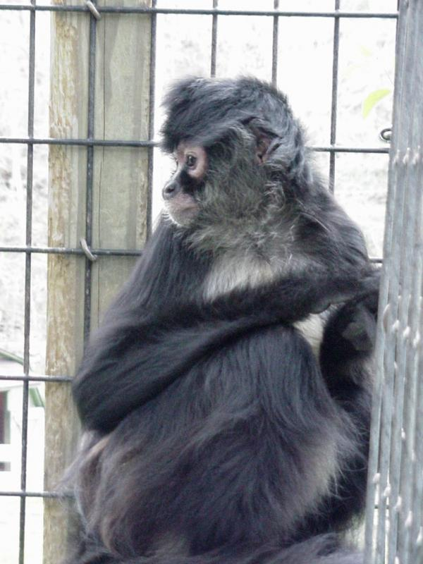 Bisou the spider monkey loves to blow kisses!