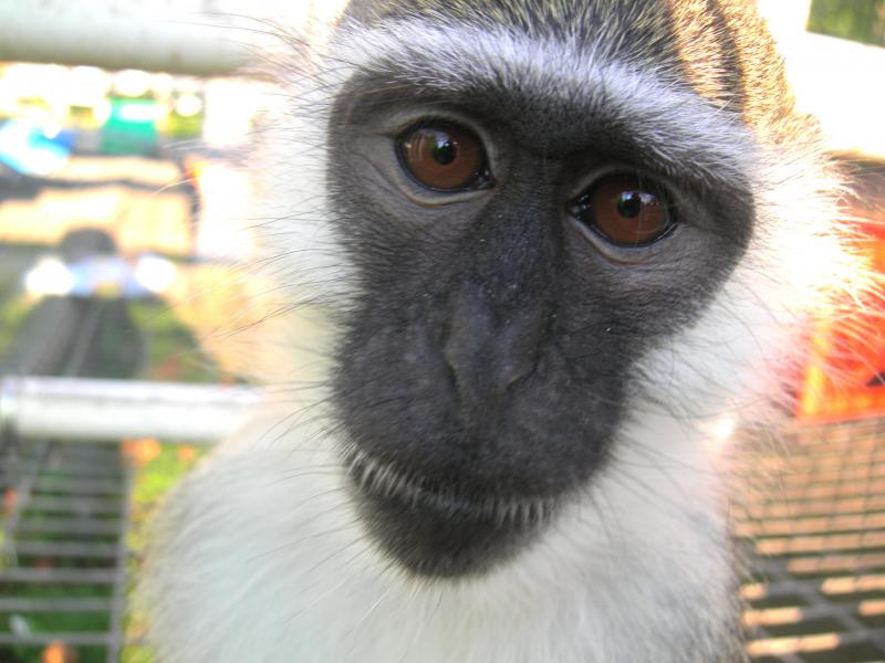 Bob the vervet monkey is a real sweetie.
