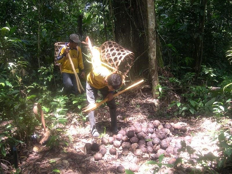 Gathering Brazil nuts for harvest by Nurymar Feldman