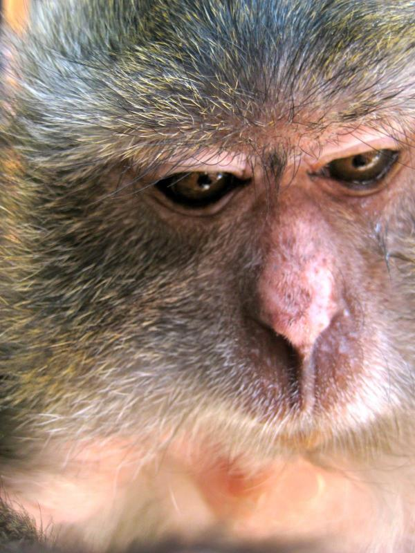 Bubbles the java macaque is deep in thought.