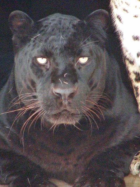 Chui, African leopard