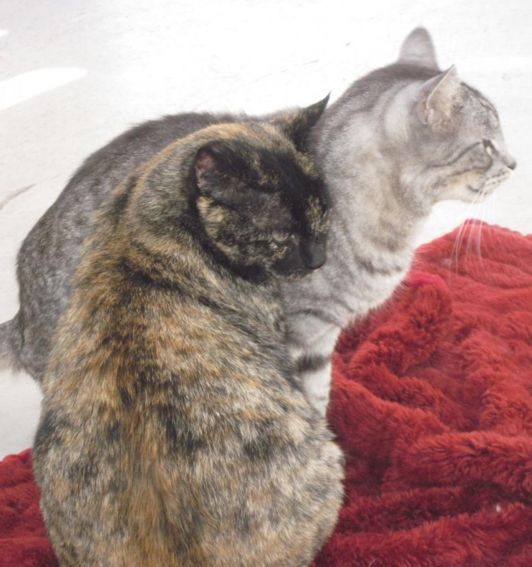 Clover & Regal- FeLV+ kitties (Clover is Regal's mama)