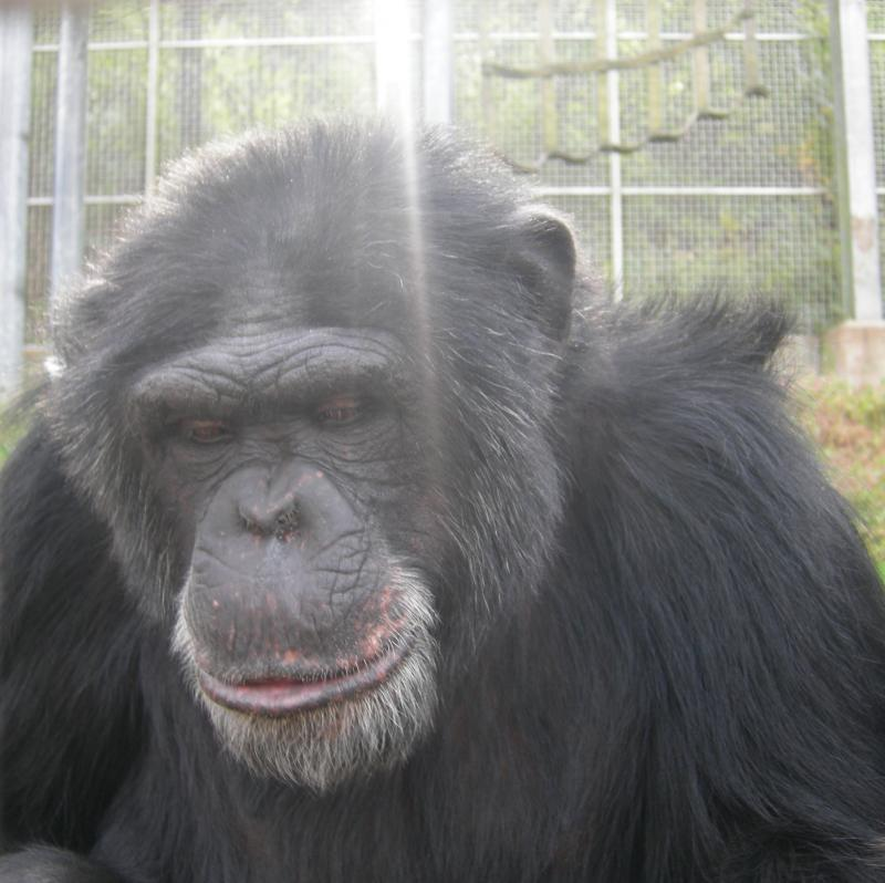 Cory the chimpanzee isn't as peaceful as this photo leads you to believe!