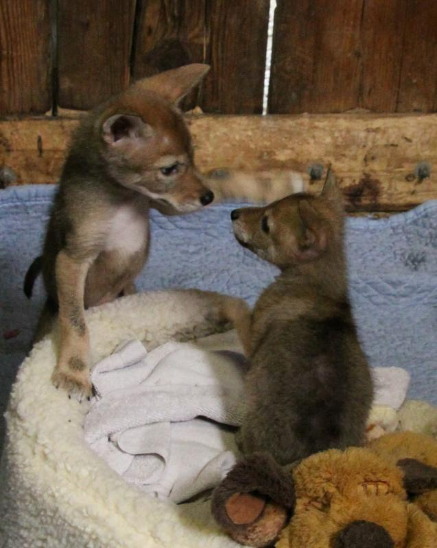 Foster Coyote Pups
