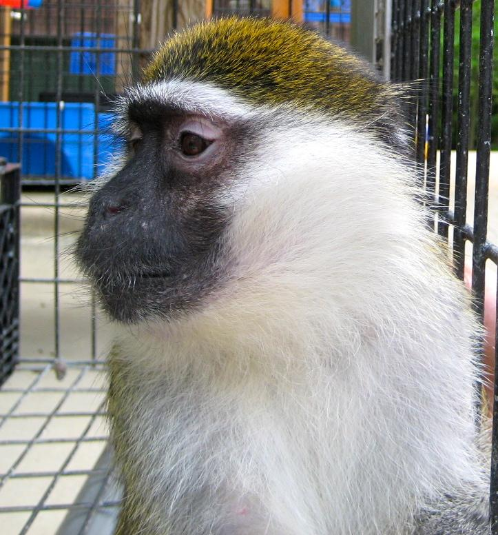 Cricket the vervet monkey is so beautiful.
