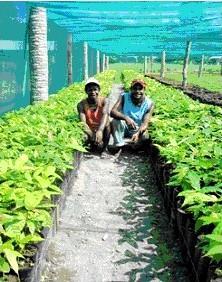 Cocoa Nursery Agricultural Program - Papua New Guinea