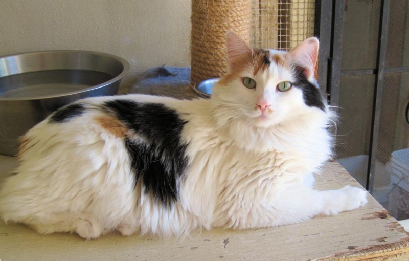 Cupid- Kitty with Manx Syndrome, she is unable to control her bowels or bladder.