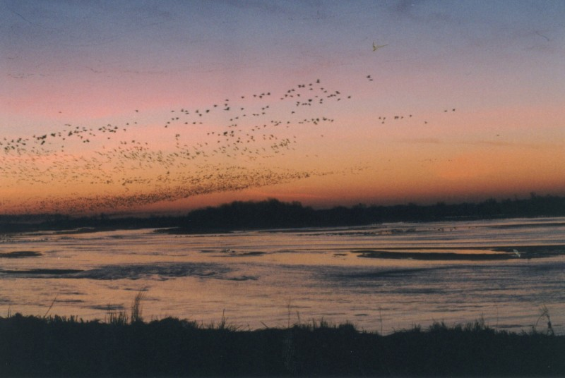 Sandhill cranes leave the Platte River at dawn.