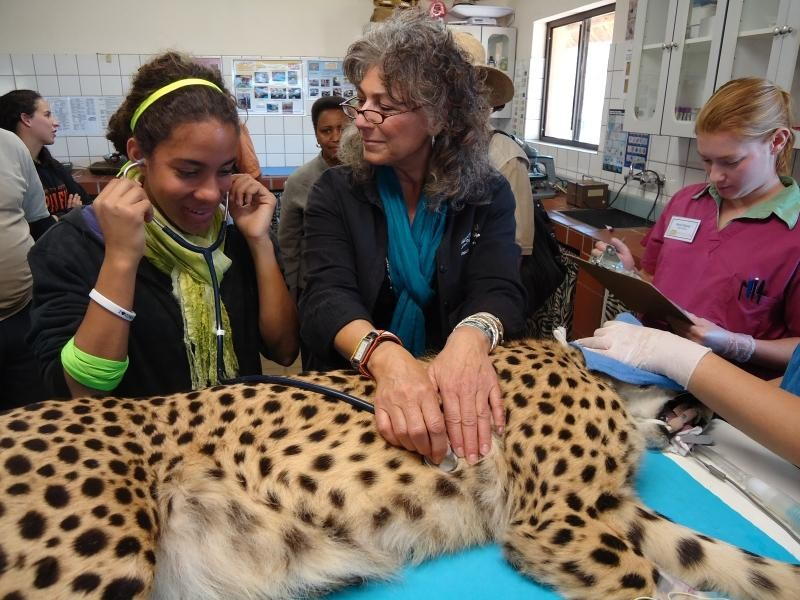 Visitors and volunteers assist with the care of cheetahs at the CCF Clinic.