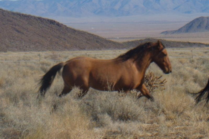 Windy, mustang rescued from slaughter