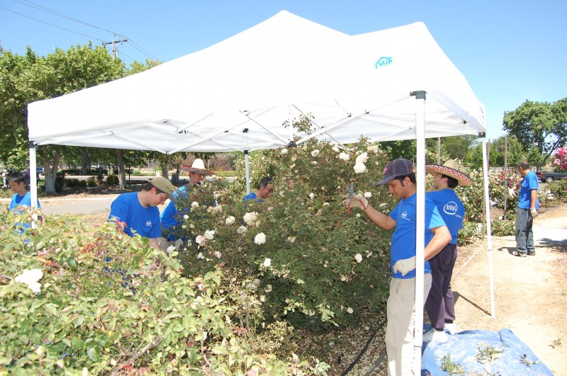 Intel volunteers deadhead roses