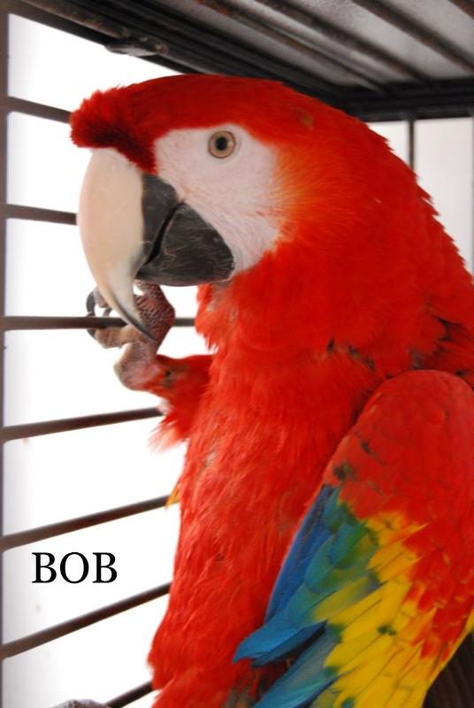 Bob the Macaw