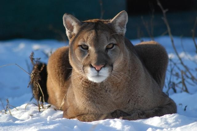 Raja the cougar