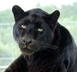 Shazam the black leopard